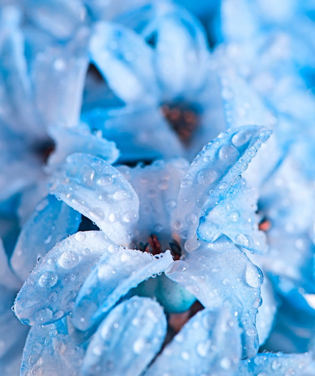 hyacinth blue flowers with water drops as wallpaper or background