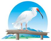 bílý ibis
