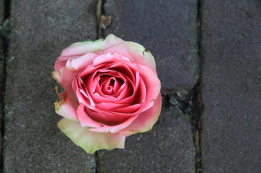 Close up of big pink rose on pavement
